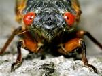 one big cicada