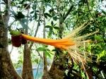 adansonia-rubrostipa