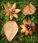 clusia-rosea