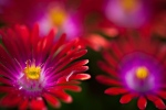 delosperma-jewel-of-desert