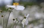 anemone-hybrida-andrea-atkinson