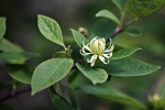 calycanthus-floridus-athens