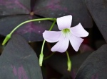 oxalis-triangularis-papilionacea