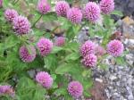 trifolium-pratense