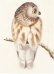 Audubon owl