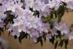 rhododendron-sp-triflora