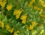 berberis-vulgaris