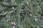 cedrus-brevifolia
