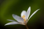 sanguinaria-canadensis