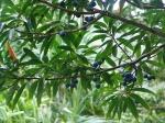 elaeocarpus-angustifolius1