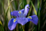 iris-unguicularis