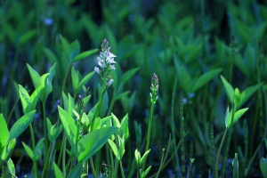 menyanthes-trifoliata