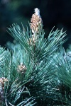 pinus-thunbergii
