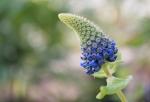 pycnostachys-urticifolia