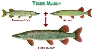 tiger_musky
