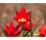 Tulipa Van Doc