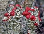 cladonia-bellidiflora