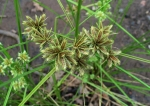 cyperus-trachysanthos