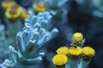 helichrysum-splendidum