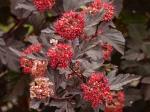 physocarpus-opulifolius-monlo