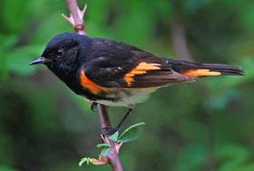 American Redstart - male