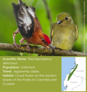 Club-Winged-Manakin