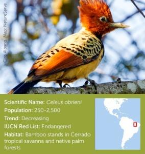 Kaempfers Woodpecker