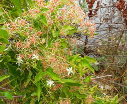 yam-leaved clematis
