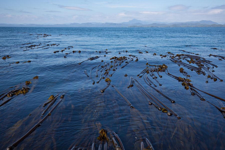A kelp forest off the British Columbia coast