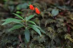 seemannia sylvarica