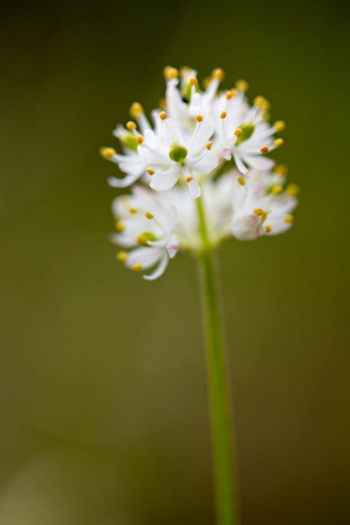 triantha-glutinosa-1