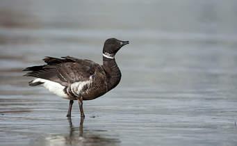 Brandt Goose