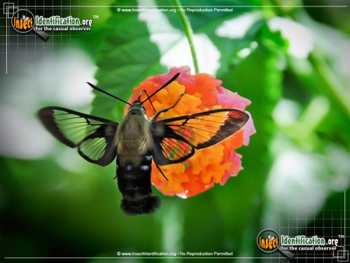 hummingbird-moth_10