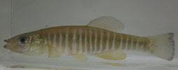 banded killfish