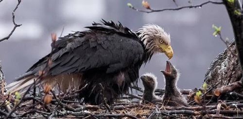 eagle and babies