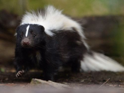 prospect park skunk