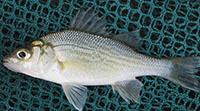 A White Perch