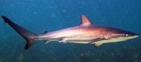 hudson shark