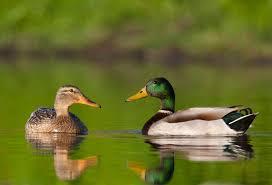 Mallard Ducks - Cajun Encounters Tour Company, New Orleans