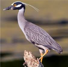 Yellow-Crowned Night Heron (Nyctanassa violacea) – Operation S.P.L.A.S.H.  (Stop Polluting, Littering and Save Harbors)