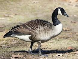 Brant Identification, All About Birds, Cornell Lab of Ornithology